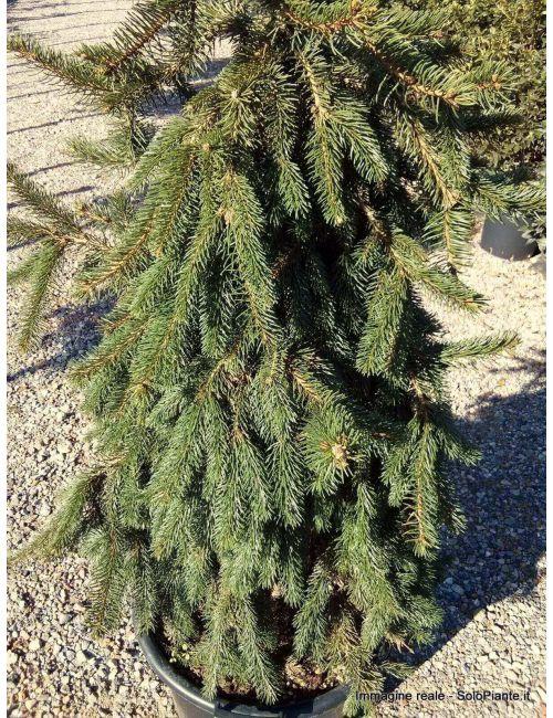 Abete Rosso piangente (Picea Abies Inversa Pendula)