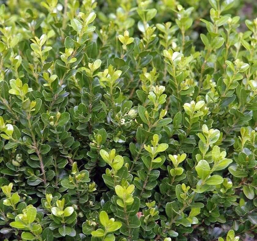 Bosso faulkner buxus sempervirens faulkner pack 25 for Bosso siepe