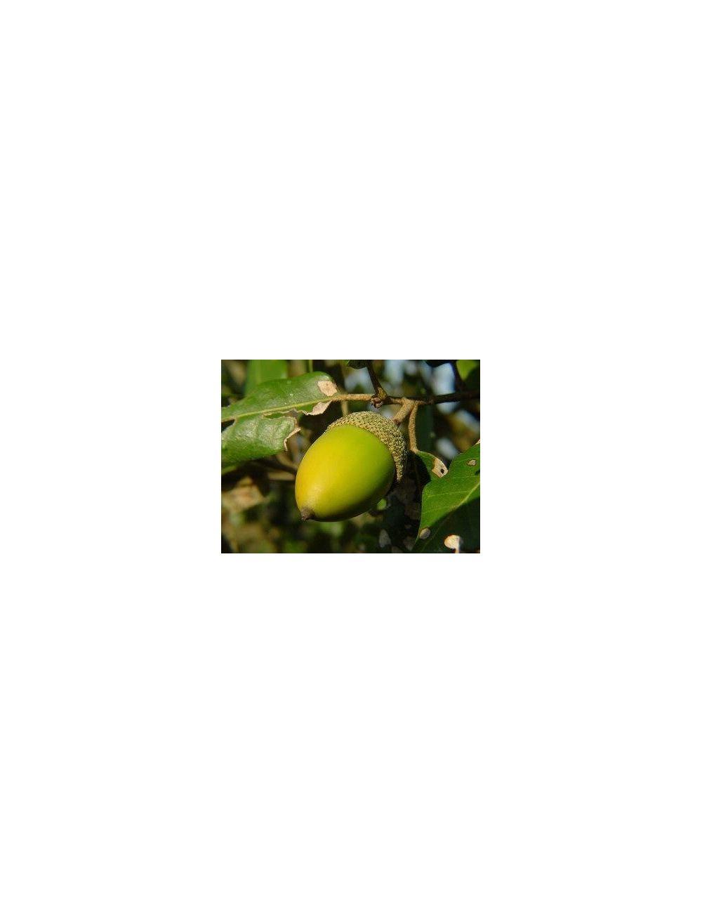 leccio quercus ilex