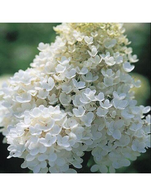 Ortensia Paniculata (Hydrangea Paniculata)