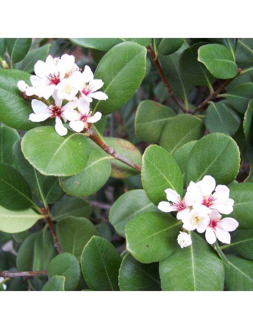 Rhaphiolepis Umbellata Ovata