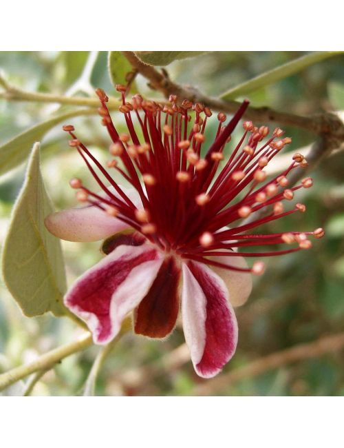 Feijoa Sellowiana (Acca Sellowiana)