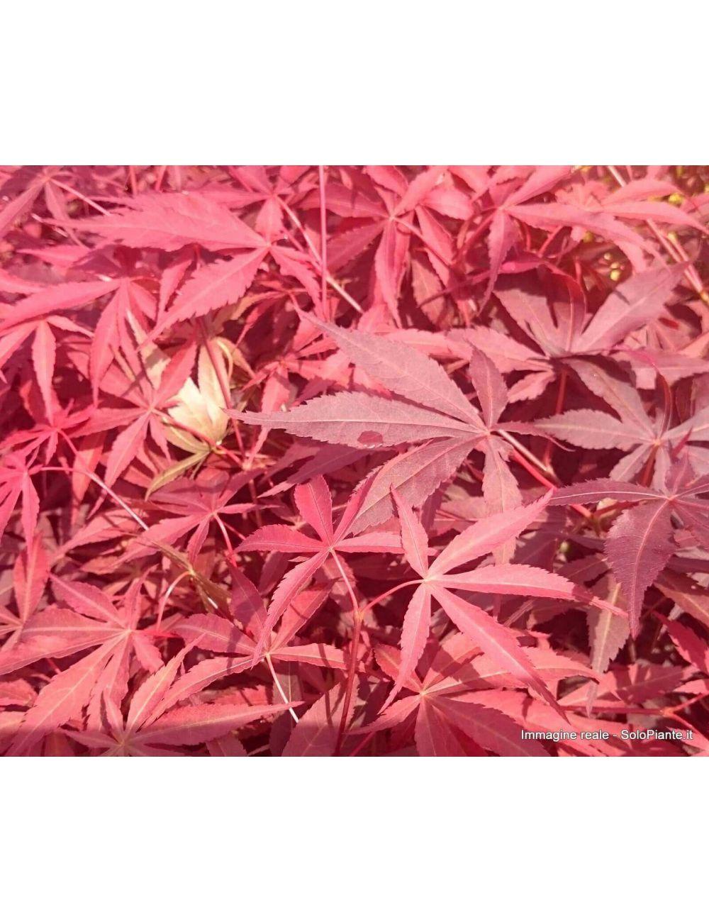 Acero Giapponese Atropurpureum