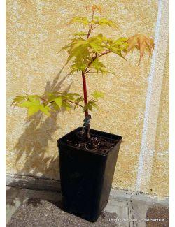 """Acero Giapponese """"Corallinum"""""""