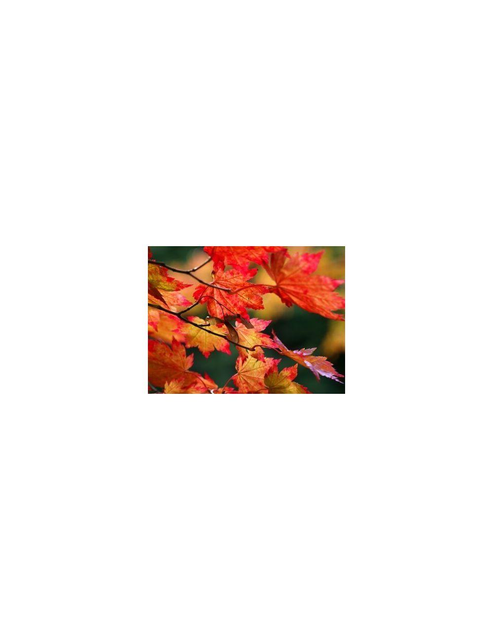 Acero giapponese vitifolium vendita piante on line for Acero giapponese in vaso