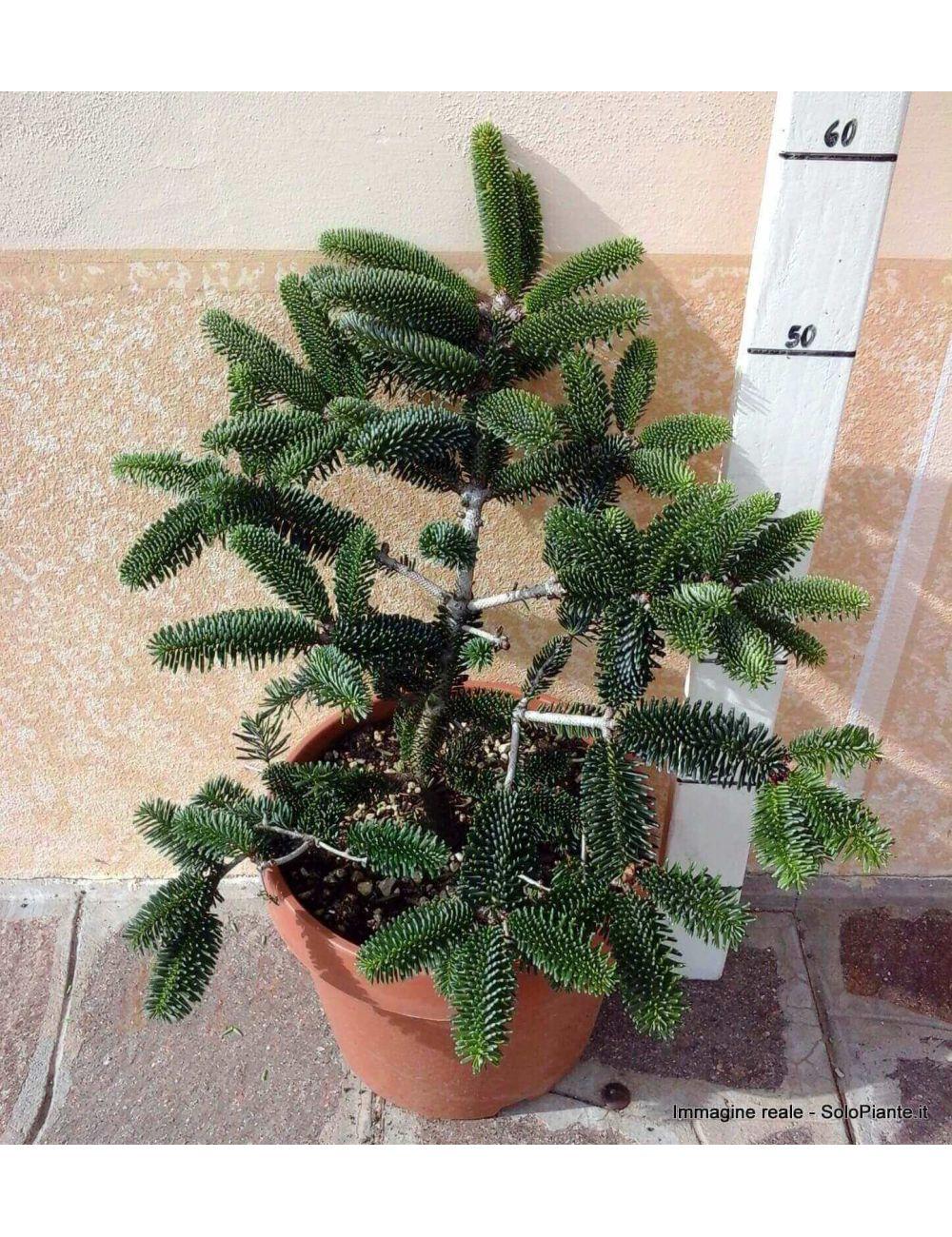 Abete d'Algeria (Abies Numidica)