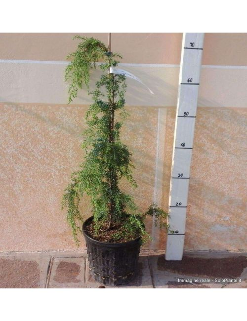 """Ginepro """"Oblonga Pendula"""" (Juniperus Oblonga Pendula)"""