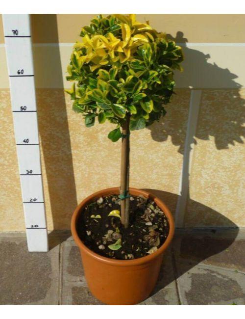 Alberello di Evomino variegato (Euonymus jap. Elegantissimus Aureus)