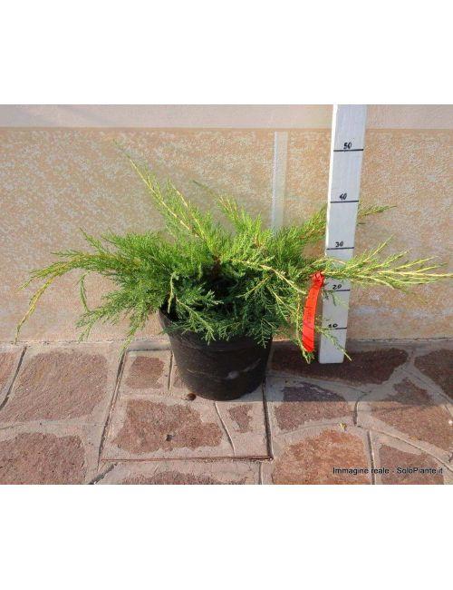 """Ginepro """"Pfitzeriana Aurea"""" - (Juniperus Pfitzeriana Aurea)"""