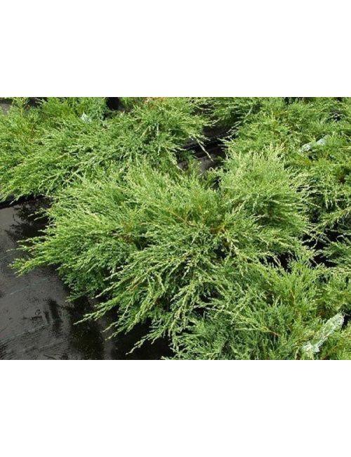"""Ginepro """"Andorra Compacta"""" (Juniperus hor.Andorra Compacta)"""