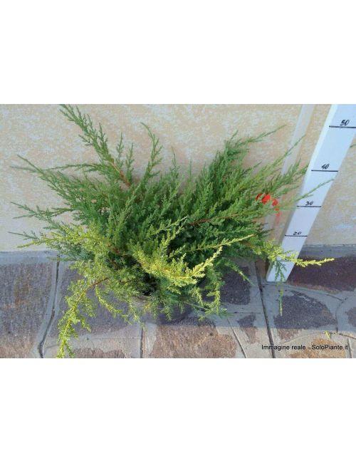 "Ginepro ""Pfitzeriana Compacta"" (Juniperus Pfitzeriana Compacta)"