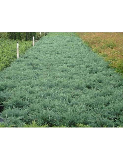 "Ginepro ""Grey Owl"" (Juniperus Grey Owl)"