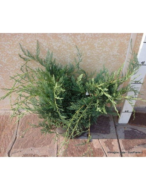 "Ginepro ""Grey Owl"" (Juniperus Grey Owl)"