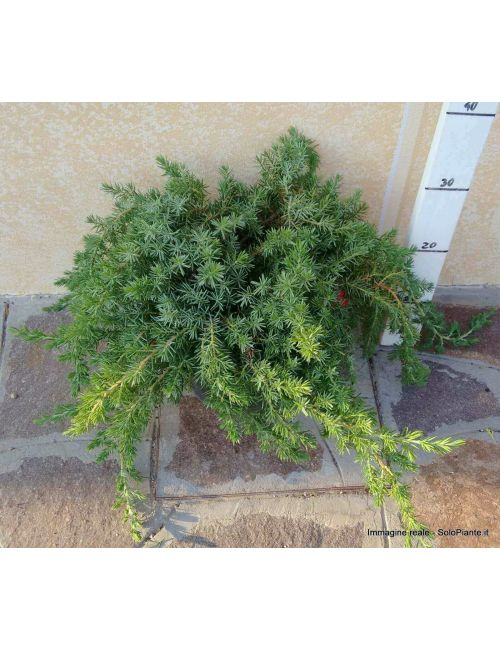 "Ginepro ""Blue Pacific"" (Juniperus Blue Pacific)"
