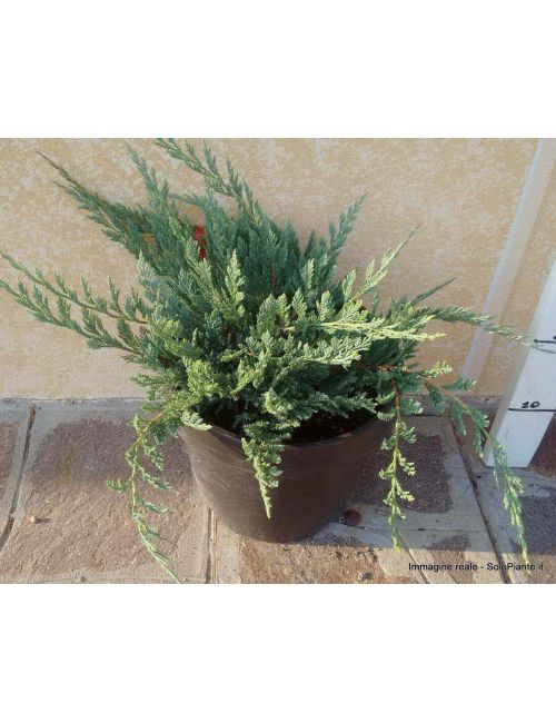 "Ginepro ""Blue Chip"" (Juniperus Blue Chip)"