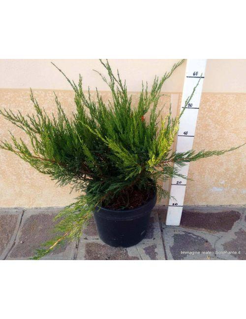 "Ginepro ""Mint Julep"" (Juniperus Mint Julep)"