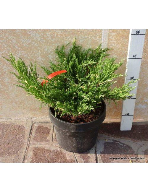 """Ginepro """"Andorra Variegata"""" (Juniperus Andorra Variegata)"""