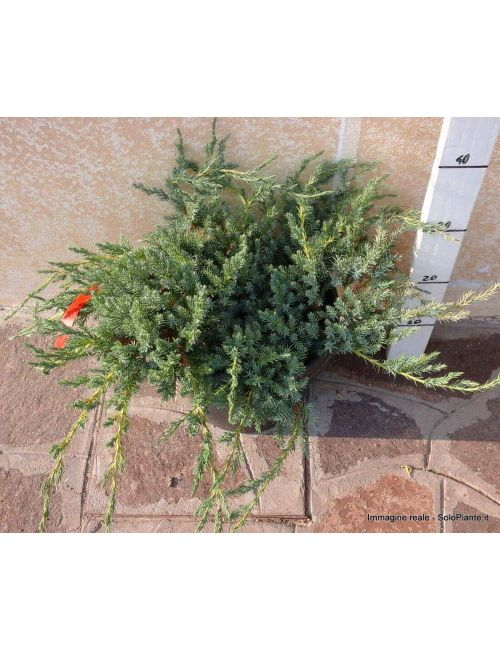 """Ginepro """"Blue Carpet"""" (Juniperus Squamata Blue Carpet)"""