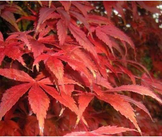 Aceri giapponesi vendita piante on line for Acero giapponese