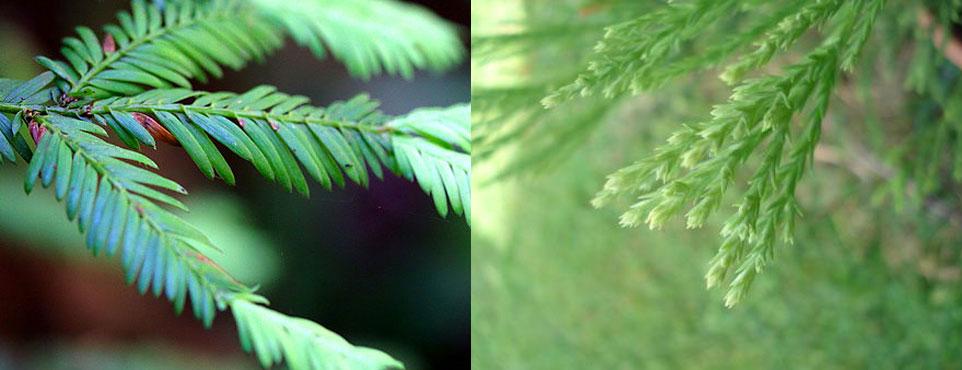 fogliame-sequoia.jpg