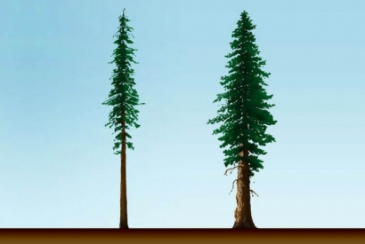 Conosci le differenze tra sequoia gigante e sequoia sempervirens?
